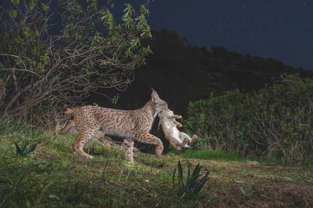 Rabbits are the main prey item of the Iberian lynx, so the cat is extremely sensitive to variations in the lagomorph's population. © Laurent Geslin