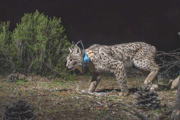 Scientists from the Andalusian government are fitting lynx with collars to find out about their behaviour. A female such as this can live in a small territory of 3–4km2, as long as there is enough food. © Laurent Geslin.