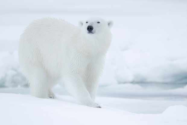 While the black nose and eyes of the polar bear are clearly visible, these features are not readily distinguished when a hunting bear lies motionless over a seal breathing hole. © Joe and Mary Ann McDonald.