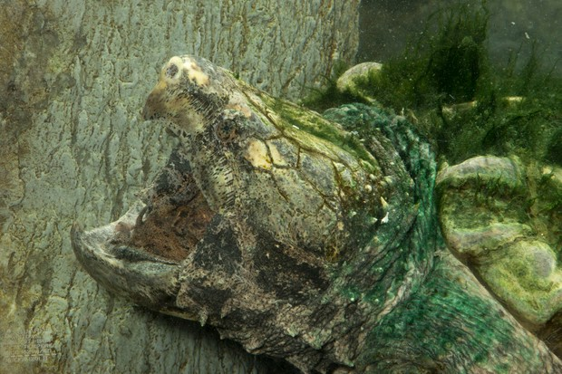 The shell and skin of the alligator snapping turtle of the south-central United States is frequently covered in a coat of algae, making this ambush predator nearly invisible. © Joe and Mary Ann McDonald.