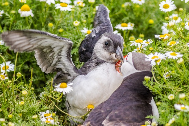 When this puffin chick emerged, it was attended by the parent bird to ensure its safety. The chick was very vocal during this time and the parent preened it then coaxed it back underground. © Becky Bunce.