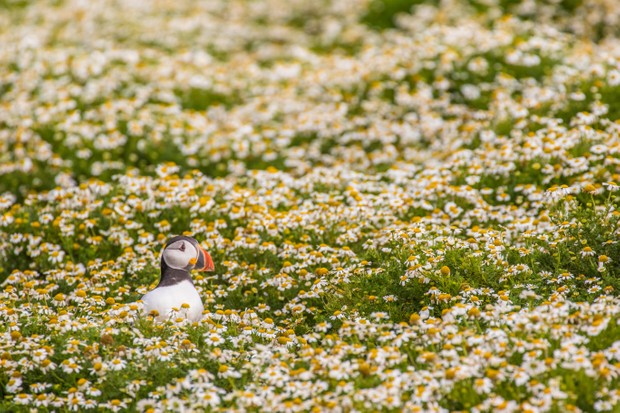 Within the colourful habitat on Skomer a puffin emerges from its burrow, breaking up the pattern of the daisies. With so many flowers, it can be hard to spot the sheer number of burrows. © Becky Bunce.