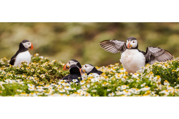 Due to the large colonies on Skomer, territories can become crowded, meaning you often see puffins tolerate each other at a close proximity as pictured here. © Becky Bunce