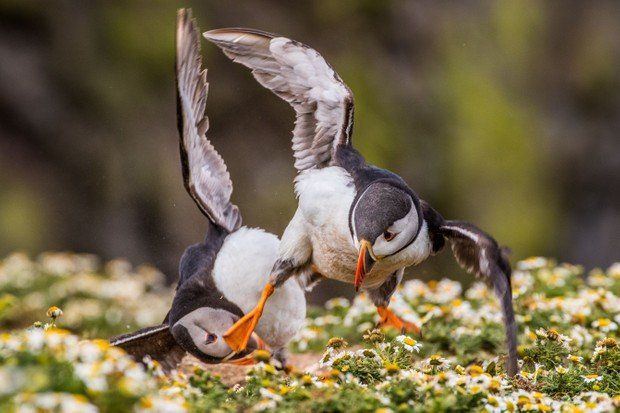 This kung fu puffin concludes a territorial fight with an impressive kick. Before this moment, the pair had been pecking at each other and puffing up their chests in a bid for dominance. © Becky Bunce.