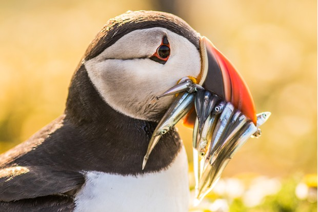 Puffins work long hours while they have chicks to bring them as much food as possible. This puffin hunting at sunset is not abnormal; the birds take full advantage of the daylight hours. © Becky Bunce.