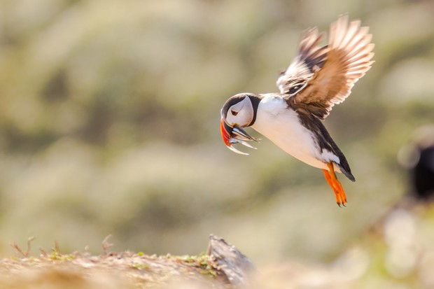 A puffin flies to the cliff edge with a beak full of eels at sunset. Once landed, it must go back to its burrow without dropping or losing the fish to other puffins or gulls. © Becky Bunce.