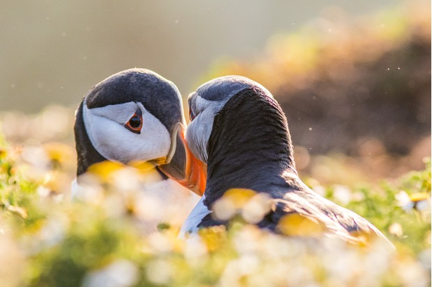 A pair of puffins build a closer bond through billing, a courtship routine involving the quick tapping of their beaks. © Becky Bunce.
