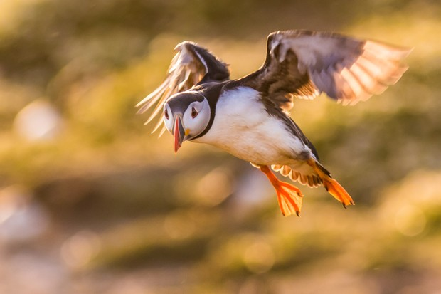 Due to small wings and bulky bodies, puffins beat their wings up to 400 beats per minute just to stay in flight. As this puffin comes to land, it flaps rapidly to avoid crash-landing. © Becky Bunce