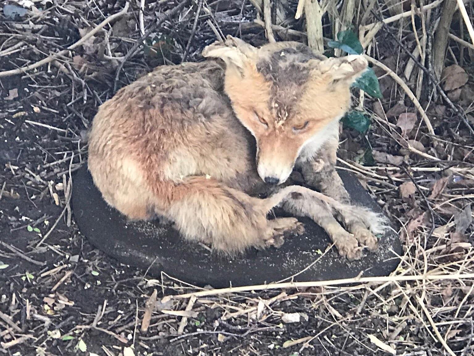 Taxidermy fox. ©RSPCA
