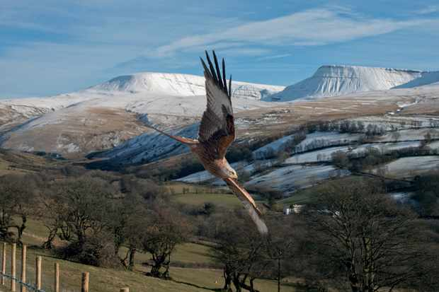 A red kite circles low to the ground in the Brecon Beacons. David was photographing the snowy landscape from a high position near a kite feeding station when this bird started circling low to the ground. © David Bailey.