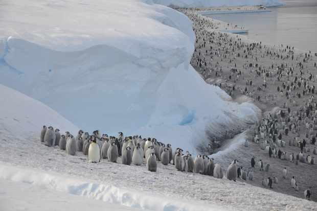 Emperor penguins on the sea ice close to Halley Research Station. © Christopher Walton