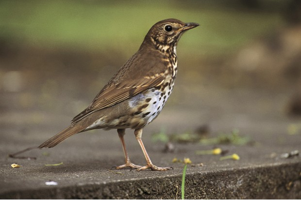 Song thrush. © Chris Gomersall/RSPB