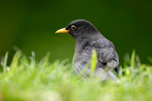 Male blackbird. © Ray Kennedy/RSPB