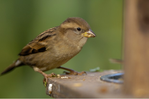 Female house sparrow. © Ray Kennedy/RSPB