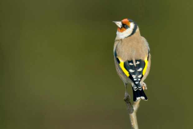 Goldfinch. © John Bridges/RSPB