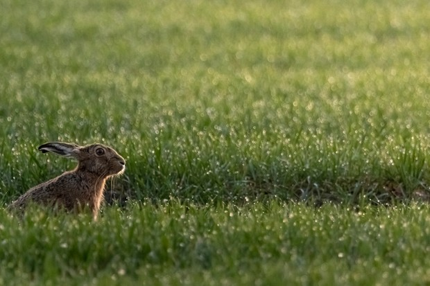 Young MOPY (16-18 years): Brown hare. © Williams Evan/The Mammal Society