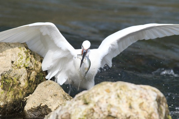 David was hoping to capture photos of otters, but there was no sign. This egret landed within four metres of his hide to fish amongst the rocks. Coastlines like this are a plentiful food source for many birds in the UK. © David Bailey.