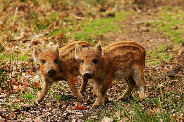 Two wild boar piglets. © Shane Stanbridge.
