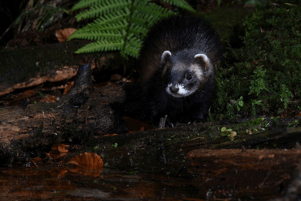 Mammal Society Member's Photograph Winner: Polecat. © Tris Pearce/The Mammal Society