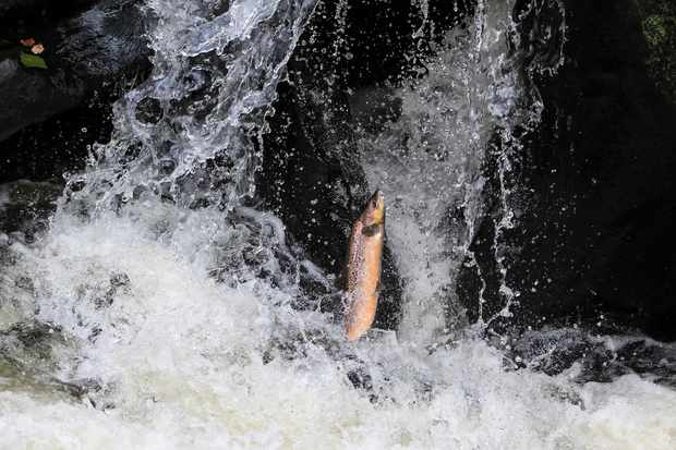 Salmon leaping upriver at Gilfach Nature Reserve in Rhayader, mid Wales. The right amount of rainfall is critical so there is enough water to swim upstream, without the water flow being too fast to swim against. © David Bailey.