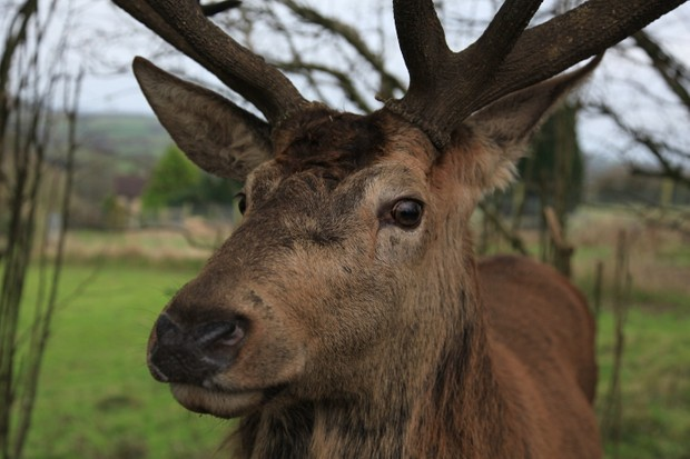 Autumn is deer rutting season, one of David's favourite times, where the stags become brave and unpredictable. They can be quite inquisitive, coming close to anybody in the area. © David Bailey.