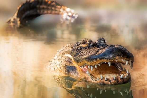 Spring time is when alligators breed in the Everglades. To attract a mate, males vibrate their larynx to make loud, bellowing calls that can travel over a mile.