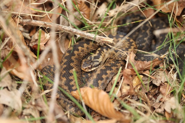Adder. © Simon Bound