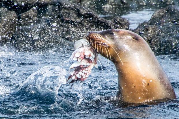 Animal Behaviour Category Winner: Galapagos sea lion with octopus. © Jose Guerrero Vela.