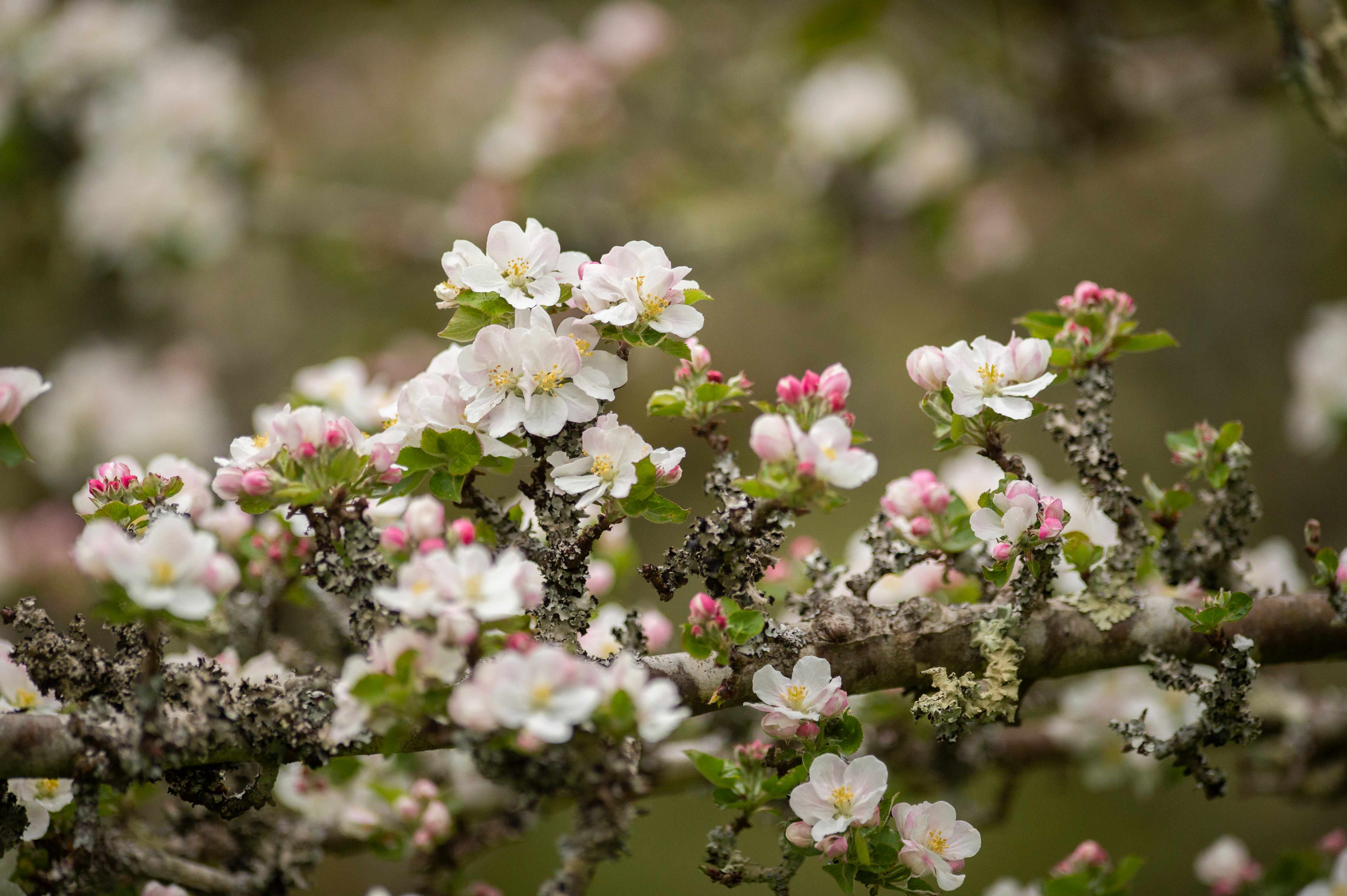 Apple blossom in bloom in the traditional orchard at Cotehele. (c) Steve Haywood