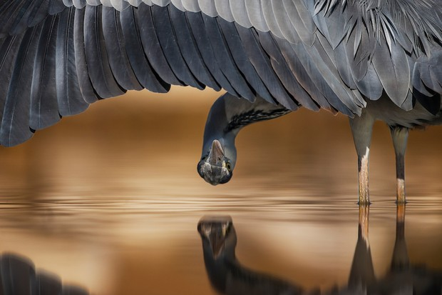 Attention to Detail Category second place: Grey heron. © Ahmad Alessa.