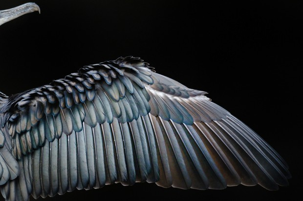 Attention to Detail Category Winner: Wing Formation. © Tom Hines.