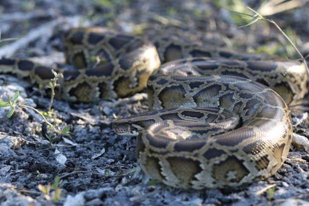 There are estimated to be around 100,000 of these invasive reptiles living in the Everglades.