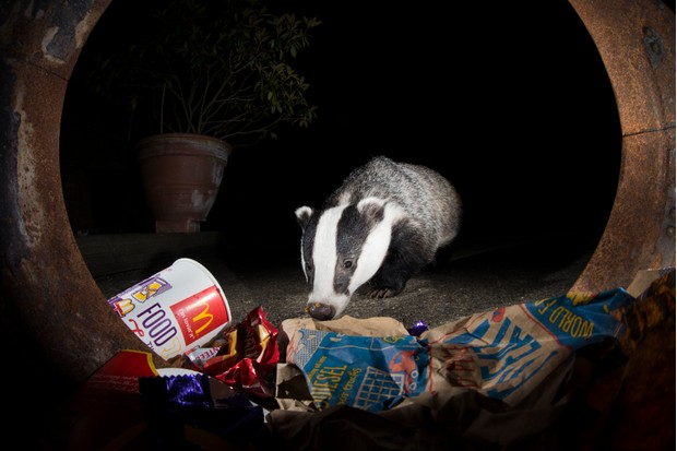 Badger. © Richard Bowler.