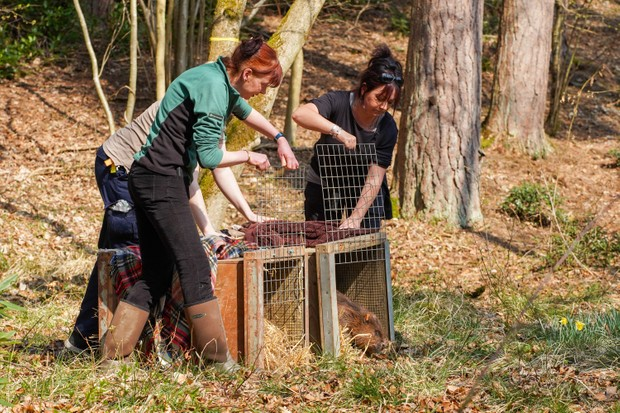Female beaver being released from crate at Cropton Forest . © Sam Oakes/Forestry England