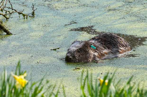 Beaver in pond at Cropton Forest. © Sam Oakes/Forestry England