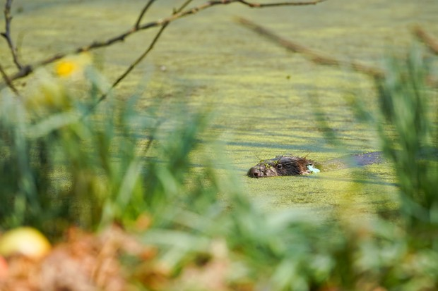 Male beaver in pond at Cropton Forest. © Sam Oakes/Forestry England