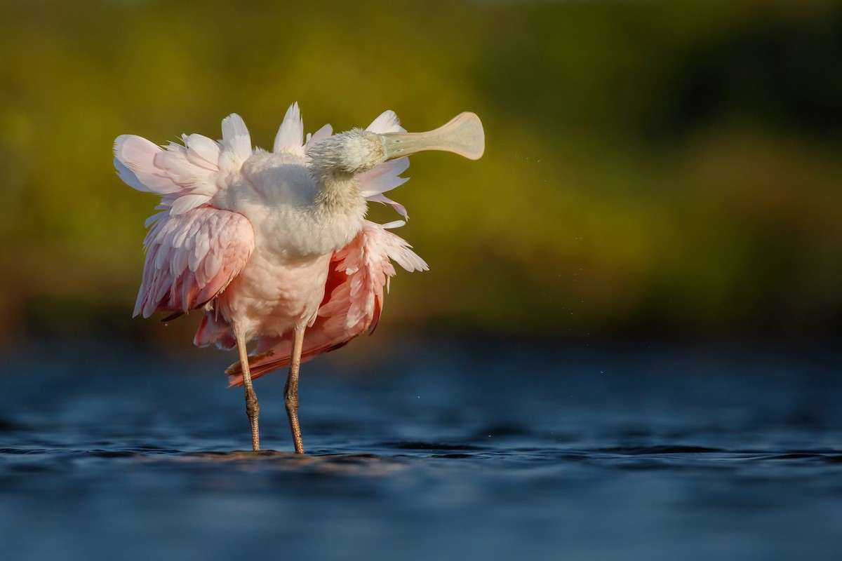 Bird Photographer of the Year: Best Portfolio Category Winner: Roseate Spoonbill. © Petr Bambousek/Bird Photographer of the Year.