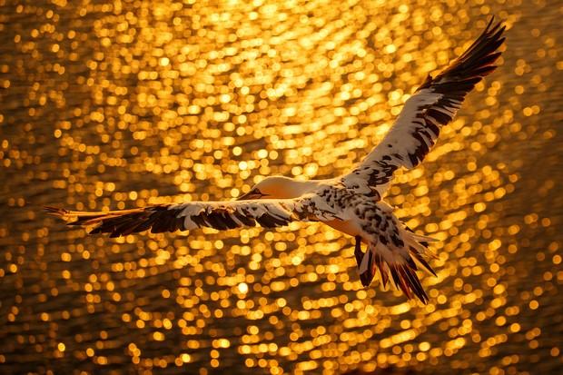 Bird Photographer of the Year: Best Portfolio Category Winner: Gannet in Flight. © Petr Bambousek/Bird Photographer of the Year.