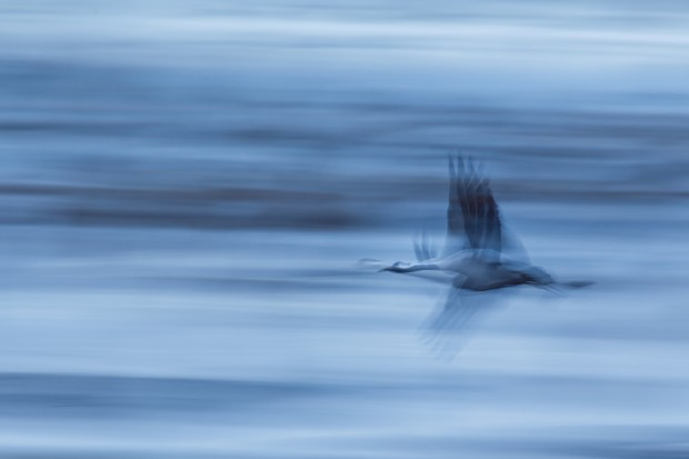 Best Portfolio Category Winner: Common Crane. © Petr Bambousek/Bird Photographer of the Year.