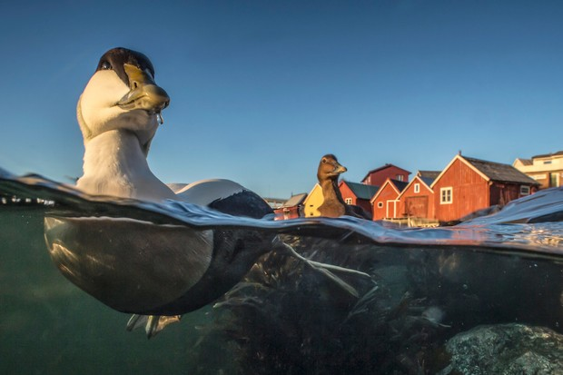 Best Portrait Category third place: Eider duck in fishing harbour. © Pål Hermansen.