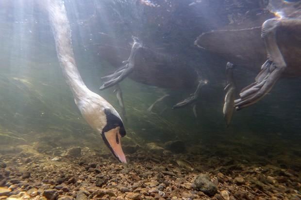 Bird Behaviour Category third place: Mute swan feeding. © Ian Wade.
