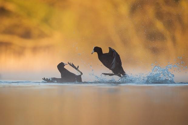 Bird Behaviour Category Winner: Coots fighting. © Andrew Parkinson.