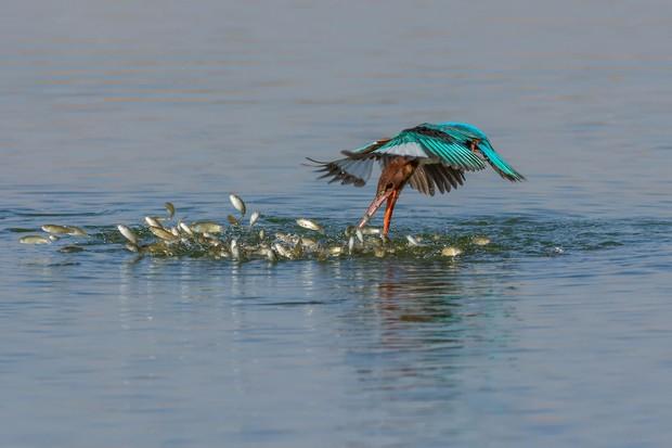 Bird Behaviour Category Runner up: Attack! © Malek Alhazzaa.