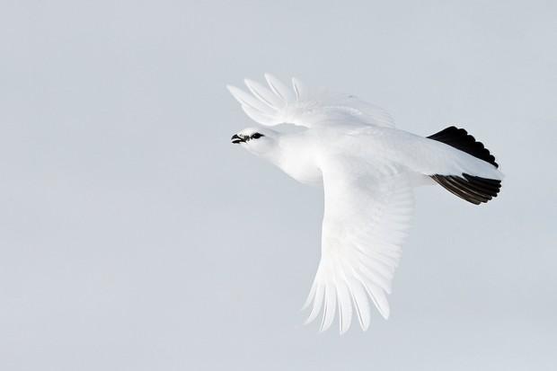 Birds in Flight Category third place: Ptarmigan in flight. © Markus Varesvuo.
