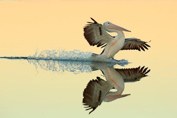 Birds in Flight Category Winner: A Perfect Landing. © Bret Charman.