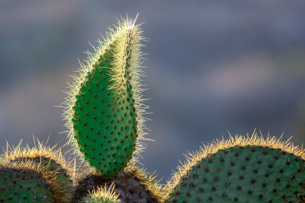 Botanical Category Winner: Prickly Pear Cactus, South Plaza. © Eric Williams.