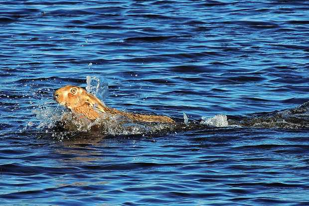 Swimming brown hare. © Malcolm Welch.