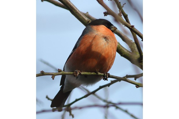 Bullfinch in St Nicks nature reserve. © Louis Outing.