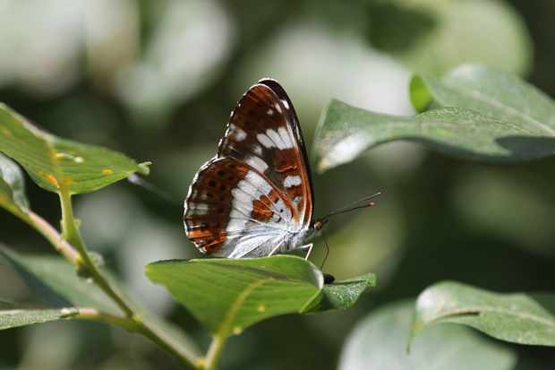 White admiral butterfly. © Simon Bound
