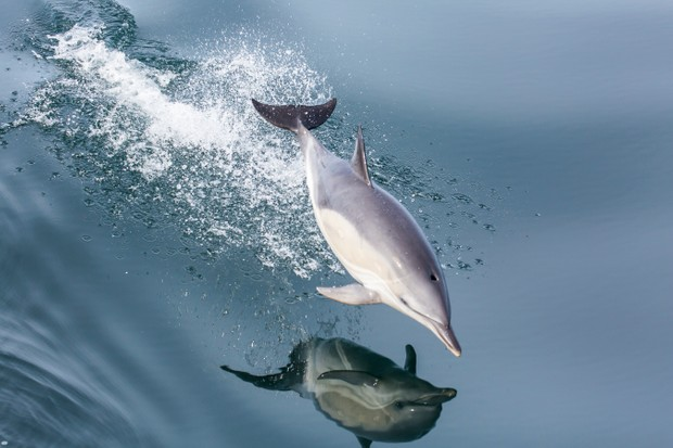 Mammal Photographer of the Year Overall Winner: Common dolphin in flight. © James West.